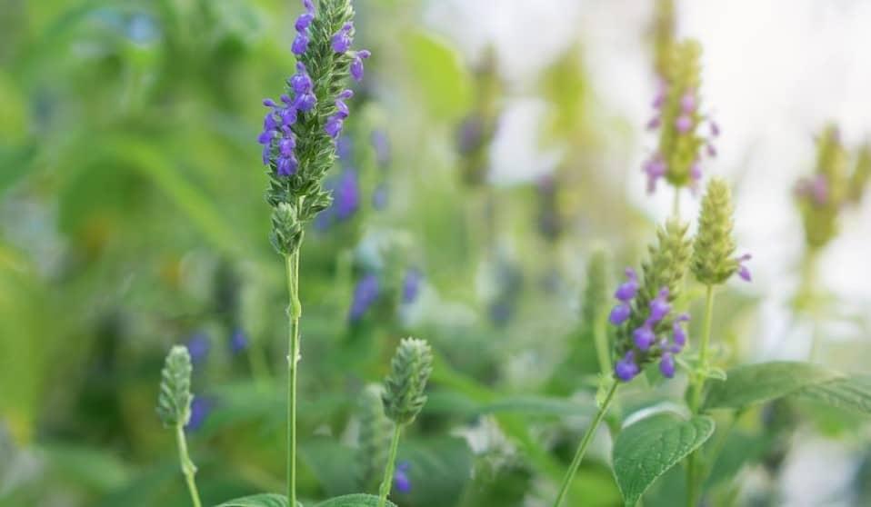 chia plant en redenen waarom chiazaad gezond is